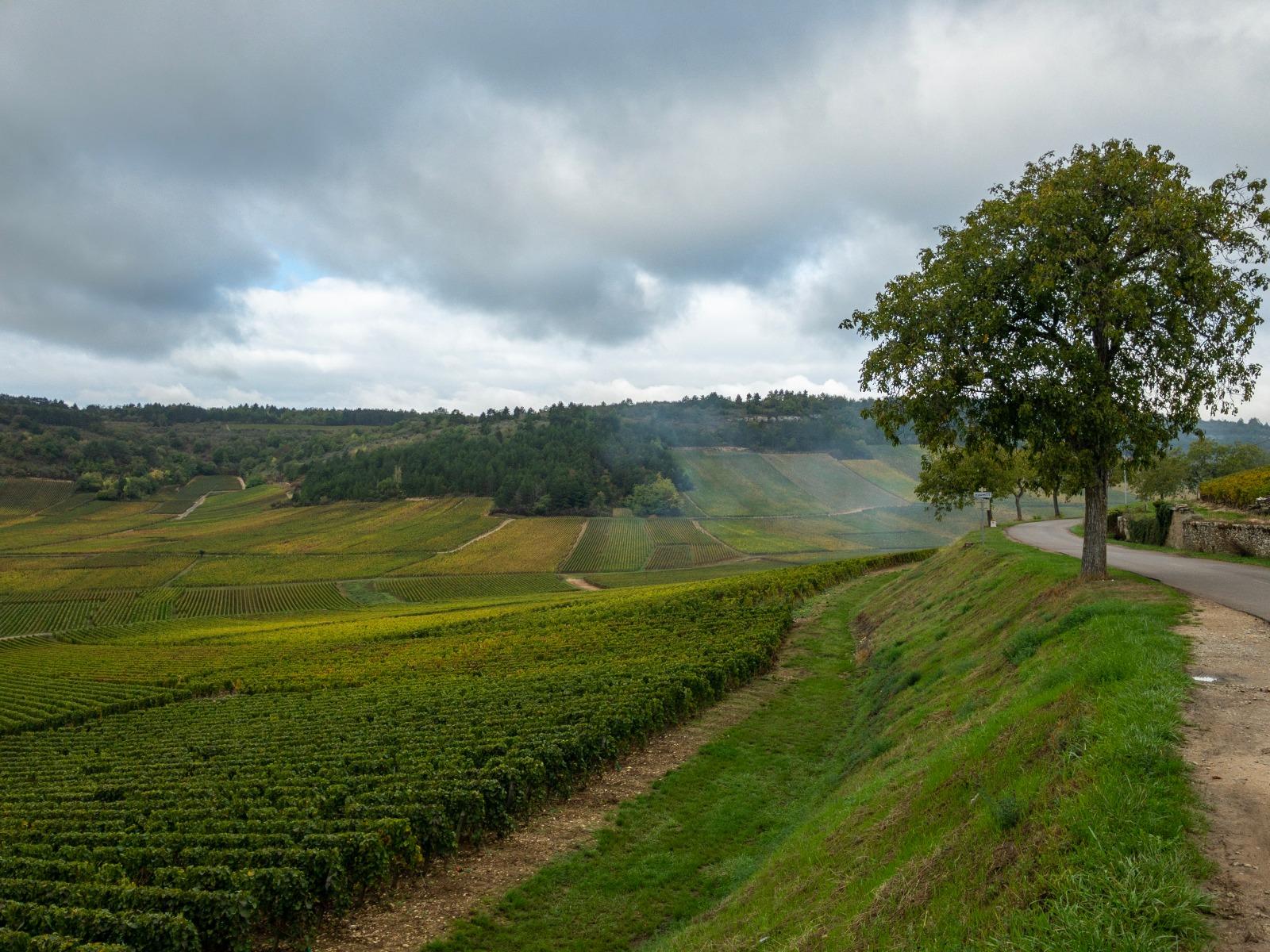 Weinberge der Domaine Monthelie Douhairet Porcheret